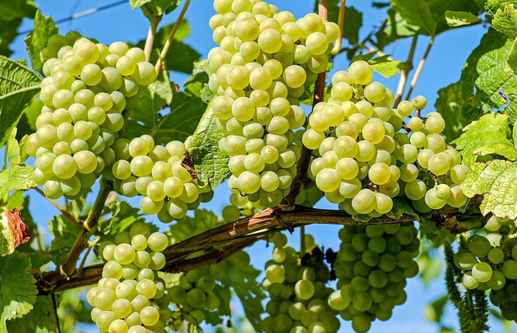 Tudtad-e? Érdekességek az ezerjó szőlőfajtáról